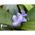 Bromeliad 'Neoregelia lilliputiana'