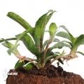 Bromeliad 'Neoregelia lilliputiana' 'L'