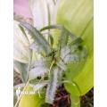 Bromeliad 'Neoregelia pendula var. Brevifolia'