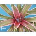 Bromeliad 'Neoregelia schultesiana' 'Fireball variagated' (M)