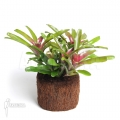 Bromeliad 'Neoregelia schultesiana' 'Fireball' (L)
