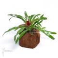 Bromeliad 'Neoregelia schultesiana' 'Fireball' (M)