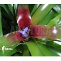 Bromeliad 'Neoregelia schultesiana' 'Fireball' (XL)