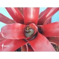 Bromeliad 'Neoregelia schultesiana' 'Fireball'