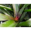 Bromeliad 'Neoregelia species GHVD01'