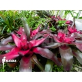 Bromeliad 'Neorugelia x 'Nuance'