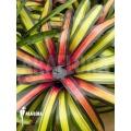 Bromeliad 'Neoregelia' x 'Pimento'