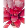 Bromeliad 'Neoregelia x 'Royal Burgundy''