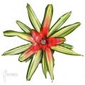 Bromeliad 'Neoregelia' x 'Mme van durme'