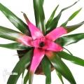Bromeliad 'Neoregelia' x 'Purple star'