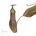 Tropical pitcher plant 'Nepenthes adnata' 'L'