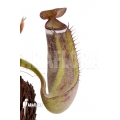 Tropical pitcher plant 'Nepenthes albo-marginata' 'Kuching spotted'