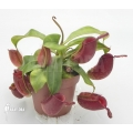 Tropical pitcher plant 'Nepenthes ampullaria' 'Red' 'L'