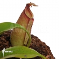 Tropical pitcher plant 'Nepenthes bicalcarata'