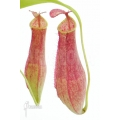 Tropical pitcher plant 'Nepenthes gracilis'