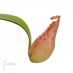 Nepenthes madagascariencis