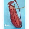 Tropical pitcher plant 'Nepenthes mirabilis' 'Thailand red'