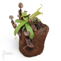 Tropical pitcher plant 'Nepenthes sanguinea' 'L'