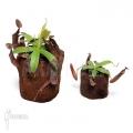Tropical pitcher plant 'Nepenthes sanguinea' 'XLlvm'