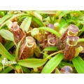 Tropical pitcher plant 'Nepenthes talangensis' 'Starter'