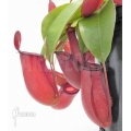 Tropical pitcher plant 'Nepenthes' x 'Bloody mary' 'XL'