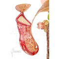 Tropical pitcher plant 'Nepenthes x 'Gaya' 'L'