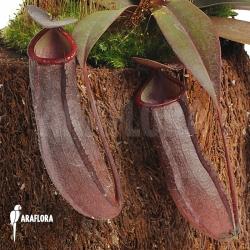 Nepenthes x 'Rebecca Soper' 'S'