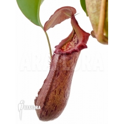 Nepenthes x bill bailey