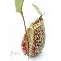 Tropical pitcher plant 'Nepenthes x hookeriana' 'Dark'