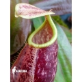 Tropical pitcher plant 'Nepenthes x suki'