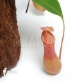 Tropical pitcher plant 'Nepenthes x ventrata' 'L'