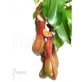 Tropical pitcher plant 'Nepenthes x ventrata' 'XL'