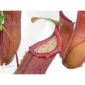 Tropical pitcher plant 'Nepenthes' x 'Linda'