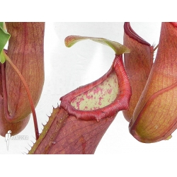 Nepenthes x 'Linda'