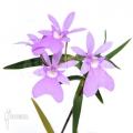 Orchid 'Oerstedella centradenia'