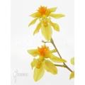 Orchid 'Oncidium cheirophorum 'S'