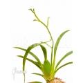 Orchid 'Oncidium croesus'