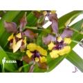 Orchid 'Oncidium eurycline'