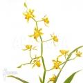 Orchid 'Oncidium meirax'