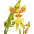 Orchid 'Oncidium unknown mini'