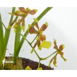 Oncidium unknown mini