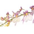Orchid 'Oncidium x Popcorn'