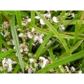 Orchid 'Ornithophora radicans'