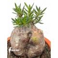 Pachypodium bispinosum 'L'