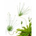 Paepalanthus species cerro neblinae