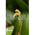 Orchid 'Panmorphia minutalis'