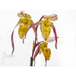 Paphiopedilum philippinense var roebelenii