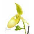Orchid Paphiopedilum x pinocchio
