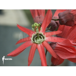 Passiflora species unknown