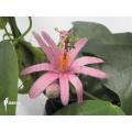 Purple passionflower 'Passiflora tulea'